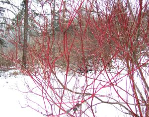 RED TWIG Winter 2014