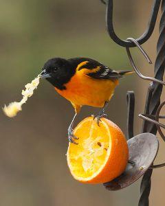 Baltimore_Oriole_eating_orange